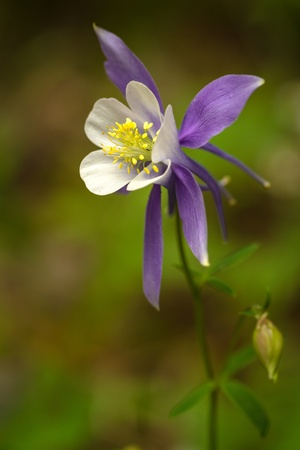 Blue columbine stem and bud growing in pine forest photo