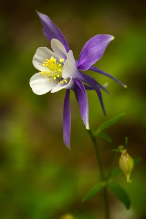 Blue columbine blossom growing on Aspen forest floor photo
