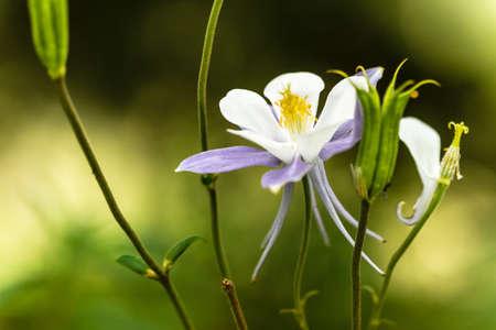 aquilegia: Close up of blue columbine blossom and buds