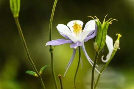 Close up of blue columbine bloom and buds