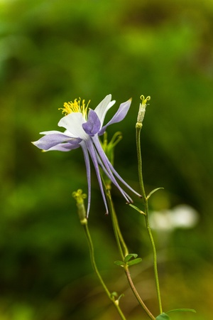 Side view of blue columbine blossom and buds photo