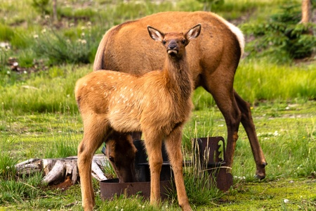 Small elk calf standing near mom in national park picnic area at dusk photo