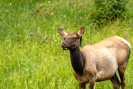 Close up of large female elk cow standing in meadow of green grass photo