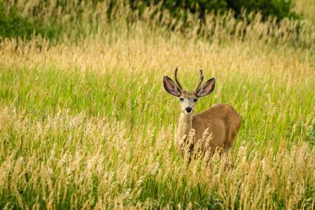 virginianus: Young male mule deer standing in field of tall grass
