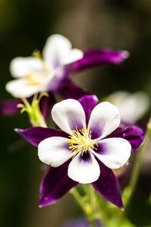 aquilegia: Purple columbine flowers blooming in garden Stock Photo