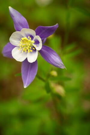 Blue columbine bloom growing on the forest floor photo