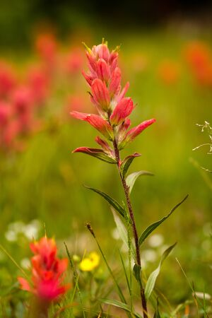 Single stem of rosy paintbrush growing in high mountain meadow