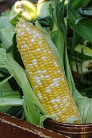 organically: Organically grown ear of corn on display at local farmer market