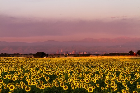 denver skyline with mountains: Denver Colorado skyline in the distance from eastern plains sunflower field