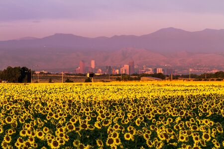 denver skyline at sunrise: Denver Colorado skyline in the distance through a large field of summer sunflowers