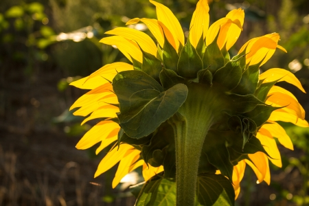 giant sunflower: Giant yellow sunflower from behind with petals glowing in the morning sun