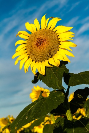 giant sunflower: Giant yellow sunflower glowing in morning sun against blue sky and white clouds