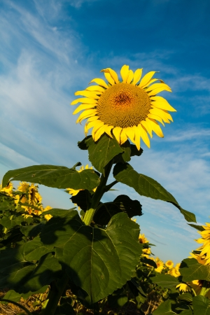 Giant yellow sunflower glowing in morning sun against blue sky with white clouds