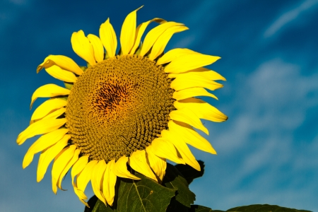 Large sunflower blossom in early morning sun against bright blue sky and white clouds photo