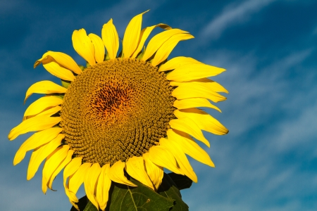 Giant yellow sunflower glowing in morning sun against bright blue sky photo