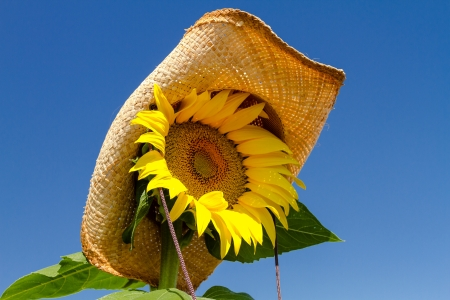 Close up of yellow sunflower bloom wearing a straw cowboy hat against bright blue sky photo
