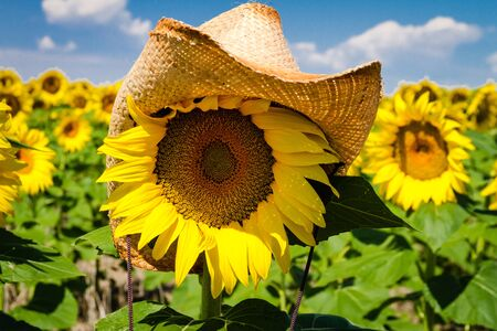 giant sunflower: Straw cowboy hat sitting on top of yellow sunflower in sunflower field against bright blue sky Stock Photo