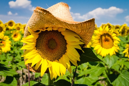 giant sunflower: Giant yellow sunflower with straw cowboy hat in sunflower field with blue sky and white clouds Stock Photo