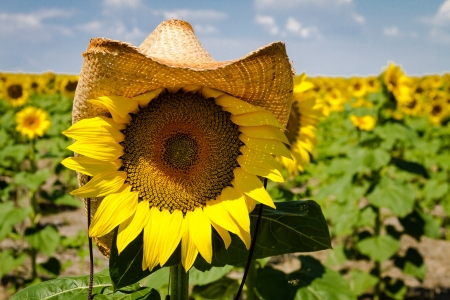 giant sunflower: Close up of yellow sunflower bloom wearing a straw cowboy hat in sunflower field