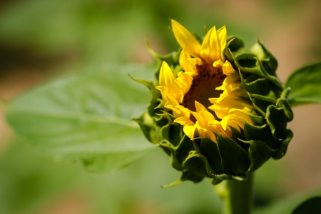 Opening bud and leaves of large yellow sunflower plant Stock Photo