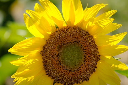 giant sunflower: Close up of giant yellow sunflower bloom lit with afternoon sun Stock Photo