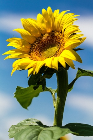 giant sunflower: Single stalk of giant yellow sunflower against bright blue sky with white clouds