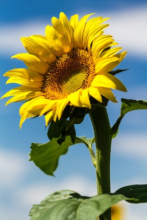 Giant yellow sunflowers stalk in afternoon sun against blue sky with white clouds photo