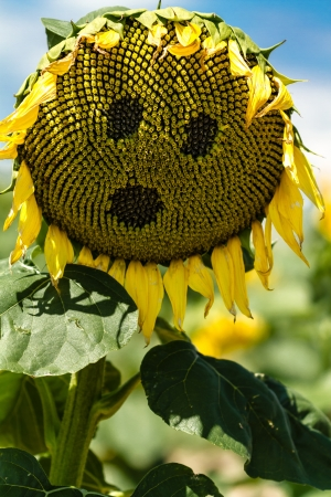 wilting: Wilting giant yellow sunflower with face on flower Stock Photo
