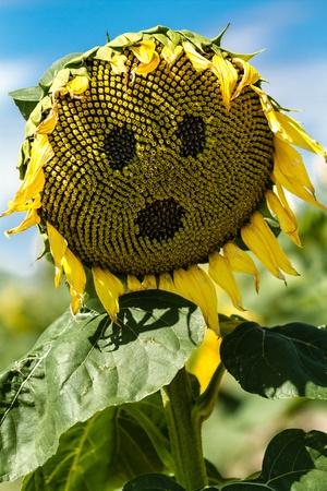 giant sunflower: OMG face on giant yellow sunflower bloom Stock Photo