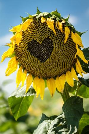 wilting: Heart drawn on wilting yellow sunflower