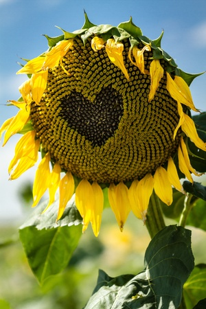 wilting: Close up of heart drawn on wilting yellow sunflower on sunny blue sky day