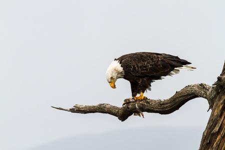 bird eating raptors: Bald eagle sitting in tree eating fish Stock Photo