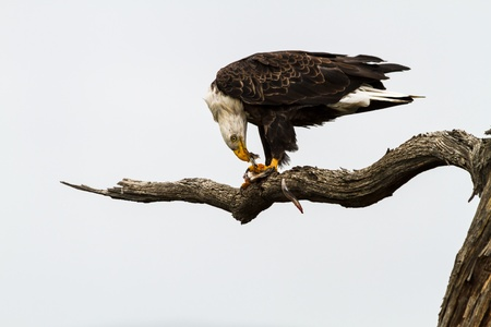 bird eating raptors: Bald eagle sitting in a tree eating fish is just captured