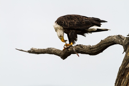 white headed: Bald eagle tearing at fish flesh of prey it just captured