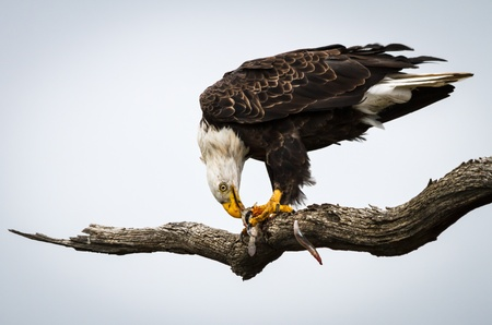 white headed: Bald eagle sitting in a dead tree holding and eating captured fish