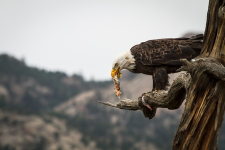 Bald eagle holding fresh fish catch in mouth