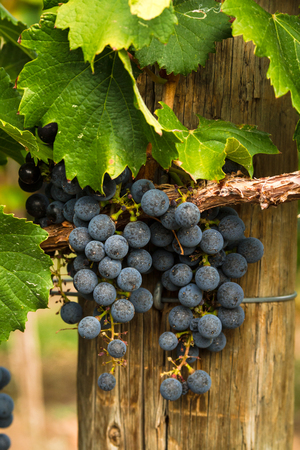 Small bunch of red wine grapes hanging on vine
