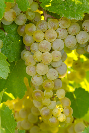 western slope: Bunch Riesling white wine grapes hanging on vine Stock Photo