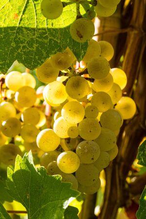 western slope: Sunlit white wine grapes hanging on vine in vineyard