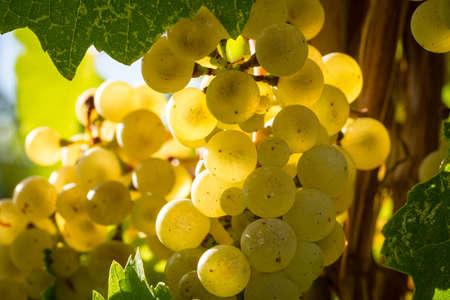 sun lit: Close up of sun lit white wine grapes hanging on vine