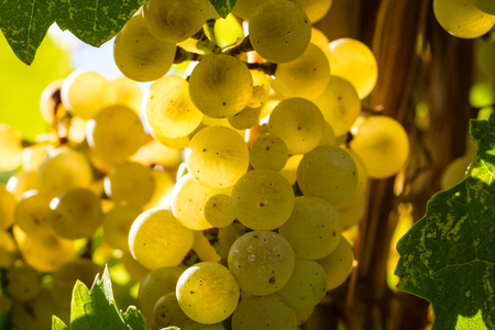 sun lit: Close up bunch of sun lit Riesling white wine grapes hanging on vine