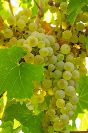 western slope: Bunch of Riesling white wine grapes hanging on vine in vineyard