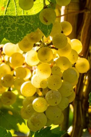 uvas vino: Iluminado por el sol Riesling blanco uvas colgando de la vid en la vi�a Foto de archivo