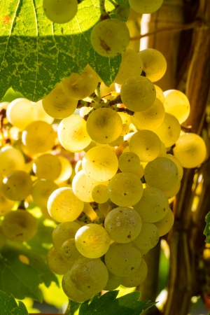 Sunlit Riesling white wine grapes hanging on vine in vineyard Stock Photo