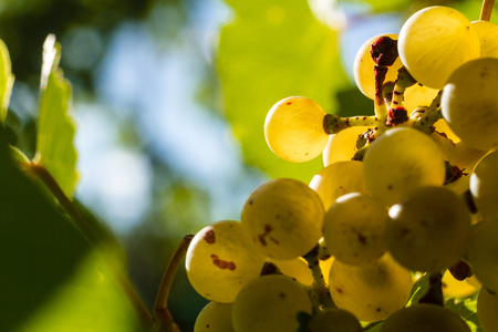 sun lit: Close up of sun lit white wine grapes hanging on vine in vineyard