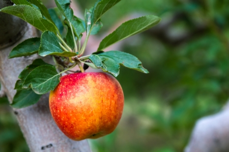 Close up of red apple hanging on tree branch in orchard