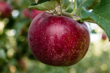 Close up of red apple hanging on tree with leaves in orchard