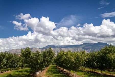 wine road: Peach tree rows in Palisades Colorado orchard on sunny summer afternoon Stock Photo