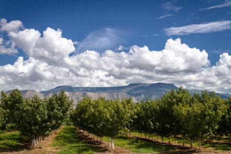 wine road: Rows of peach trees in Palisades Colorado orchard on sunny afternoon