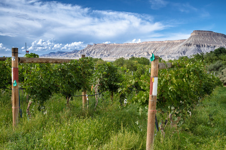 wine road: Grand Junction vineyard view of Books Cliffs on a sunny afternoon